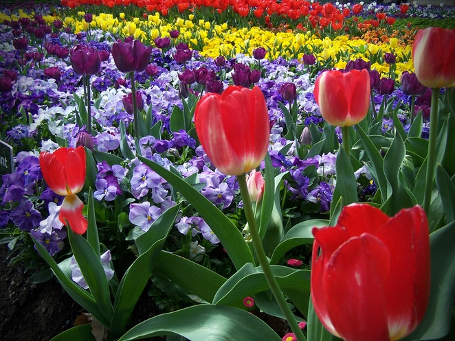 floriade, canberra, 2018, 2019, 2020, whats on, flower displays, floral, tulips, best parts, things to see, program, childrens activities, ferris wheel, program,