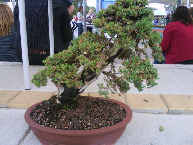Kodomo no Hi Japan Festival 2018, Bonsai, Adelaide