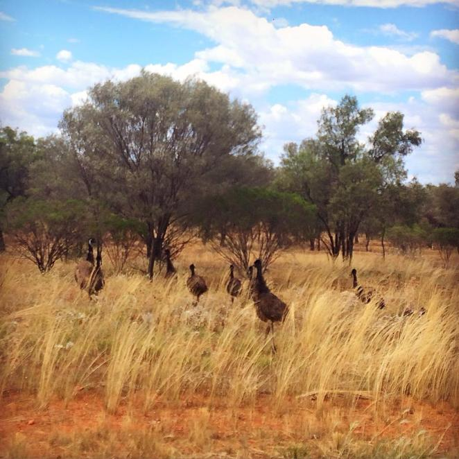 outback, nsw, great western, roadtrip, escape sydney, the great outback, wildlife, emus