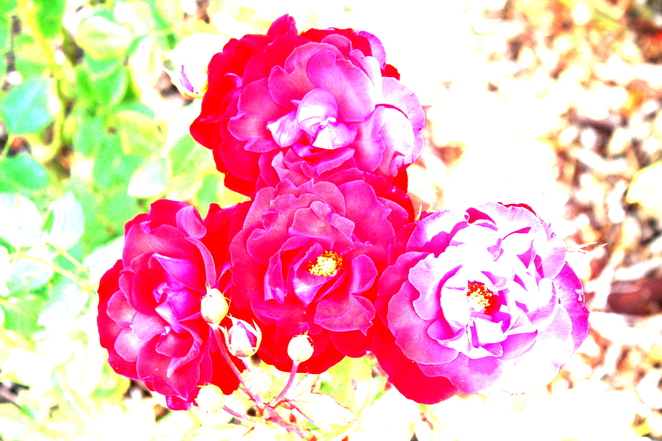 Rosy Roses