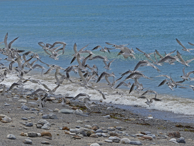 South Australian wildlife, South Australian tourism, Wildlife photography Wildlife stories, Underwater photography, Fleurieu Peninsula, Rapid Bay, terns