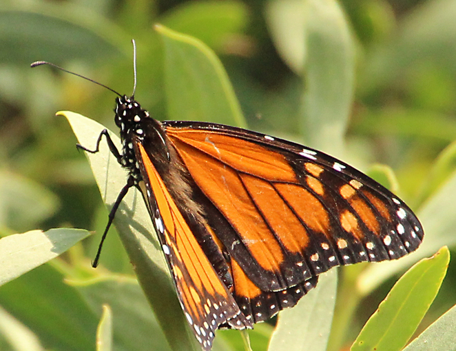 South Australian wildlife, South Australian tourism, Wildlife photography, grey mangroves, monarch butterfly