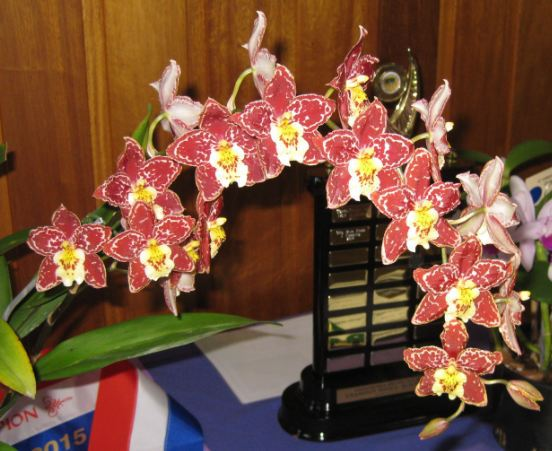 Toowoomba Orchid Show winner Grand Champion