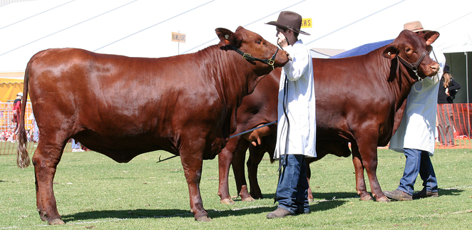 Adelaide Royal Show, 2016, animals, beef cattle