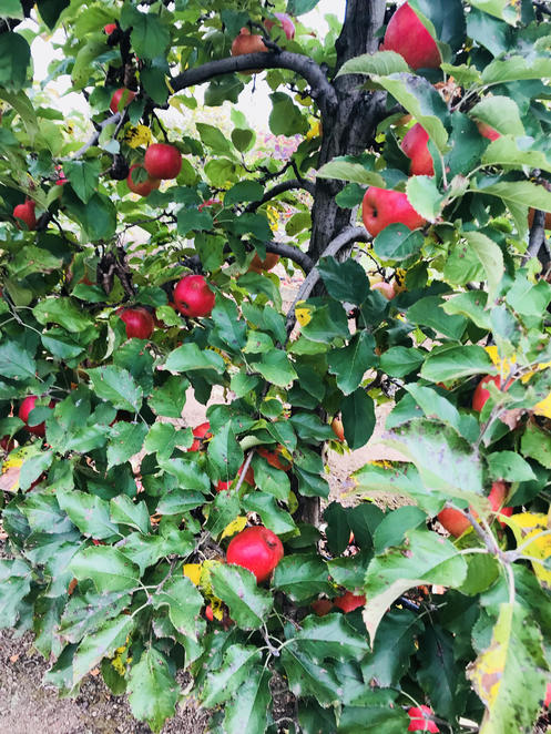 Apple orchards at Bilpin