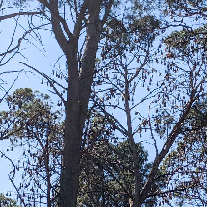 bats, adelaide, flying fox, bat trail, spring, River Torrens