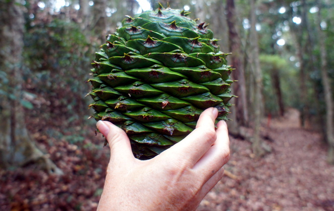 Don't forget to try the Bunya Nuts in the Bunya Mountains National Park