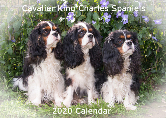 Cavalier, King, Charles, Spaniel, Capers, Funday, Calendar