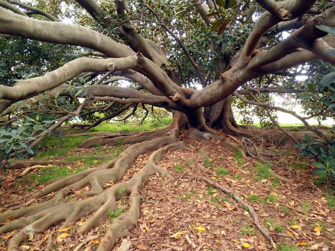 Moreton Bay Fig, Werribee Park, Melbourne Gardens, heritage tree, Werribee, Melbourne,