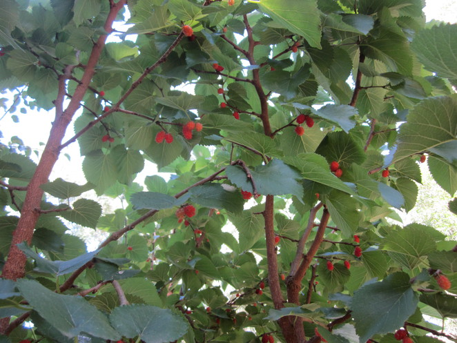 Mulberry berries