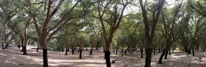 national arboretum cork oak plantation aranda bushland