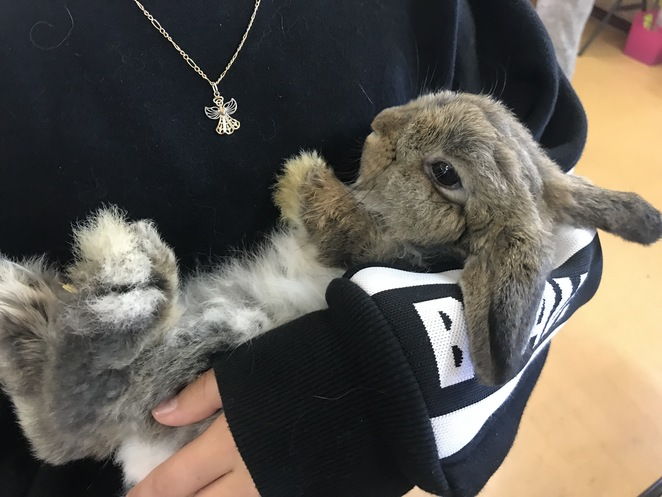 west australian rabbit council, rabbit show Perth, bunny show Perth, things to do in October, things to do with kids, show rabbits