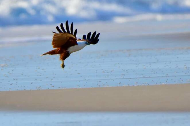 A brahminy kite coming in to land with breakfast on Woorim Surf Beach