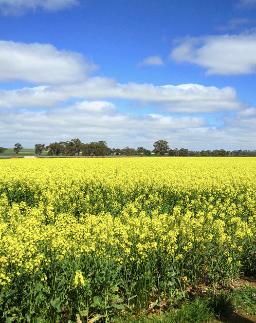 Canola field, spring, Canberra, day trip, road trip, photography