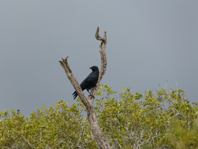 Create-a-Tour, Wynnum Wetlands, Brisbane, Torresian Crow