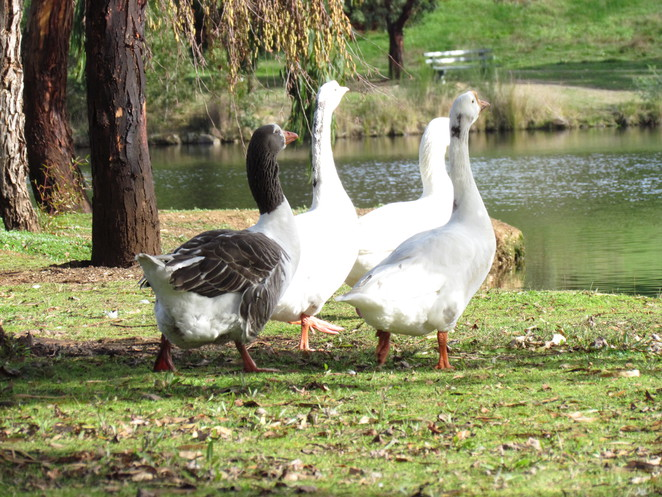ducks lake daylesford