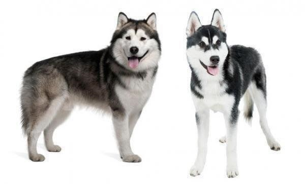 Husky,and,Malamute,play,dates