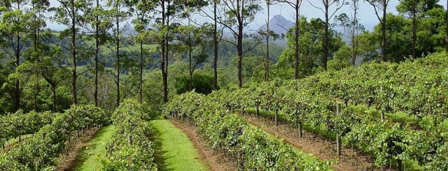 Maleny Mountain Wines, The Big Barrel, Cellar Door, Reds, whites, dessert wines, local artworks and products, own vineyard, stunning surrounds, wedding venue, cheese platter, coffee and cake, corporate functions, wine-tasting