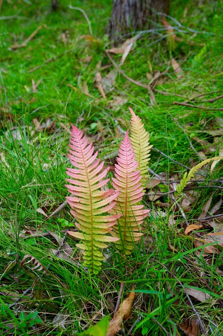 The tender new fern fronds
