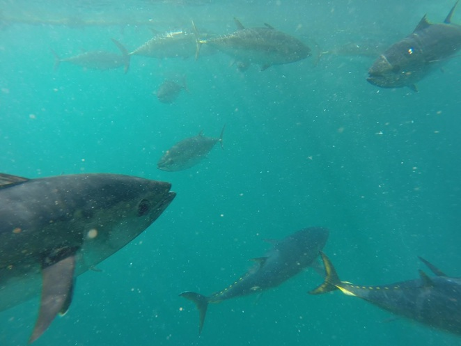 Swim with the Tuna, Boston Bay, Port Lincoln, Victor Harbor, Granite Island, Oceanic Victor, Encounter Bay