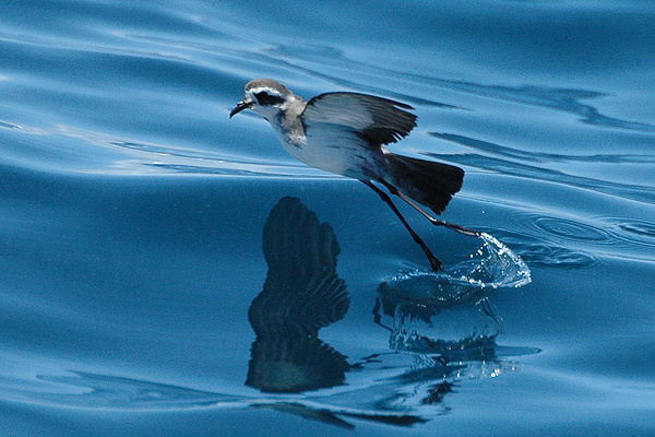 white-faced storm petrels