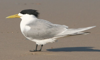 Crested,tern