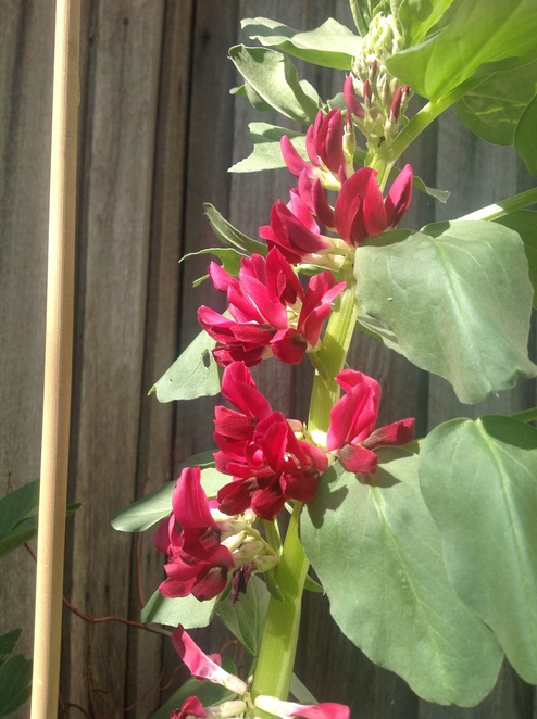 Crimson flowered broad beans in September, melbourne