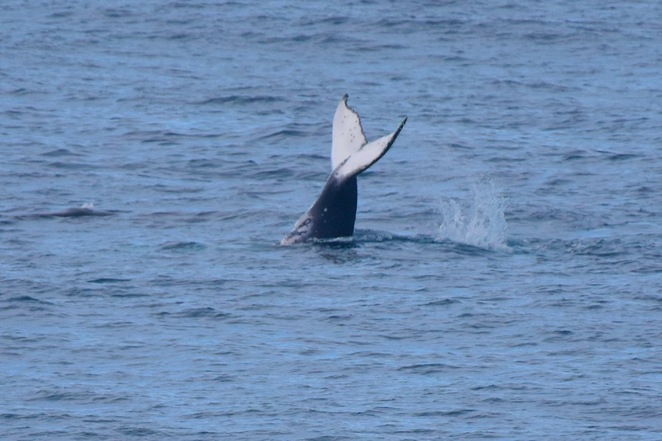 A humpback whale giving a