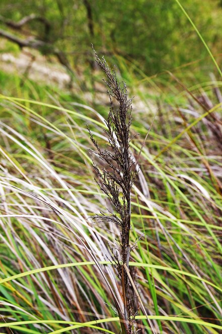 native grass