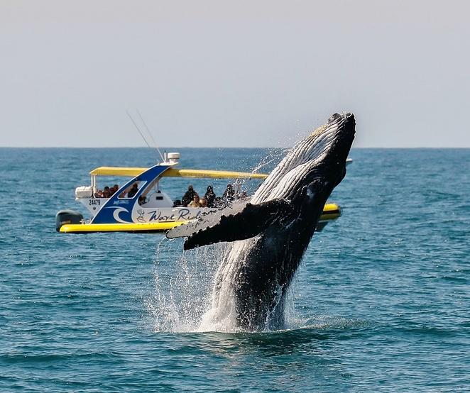 port macquarie, whale watching, tourist attractions, things to do, families, kids, seniors, port macquarie cruise adventures, NSW, mid nort coast, dolphin watching,