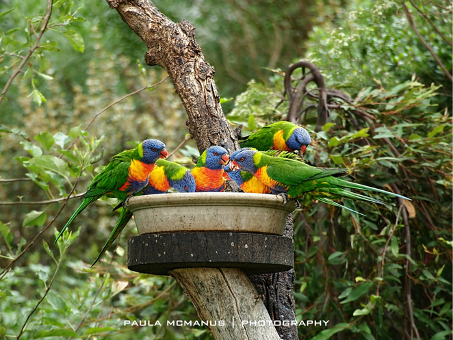 Rainbow Lorikeets at Cleland Wildlife Park