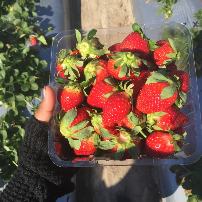 strawberry picking sunshine coast