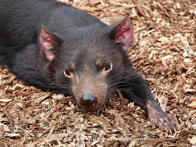 Tasmanian Devil at Cleland Wildlife Park