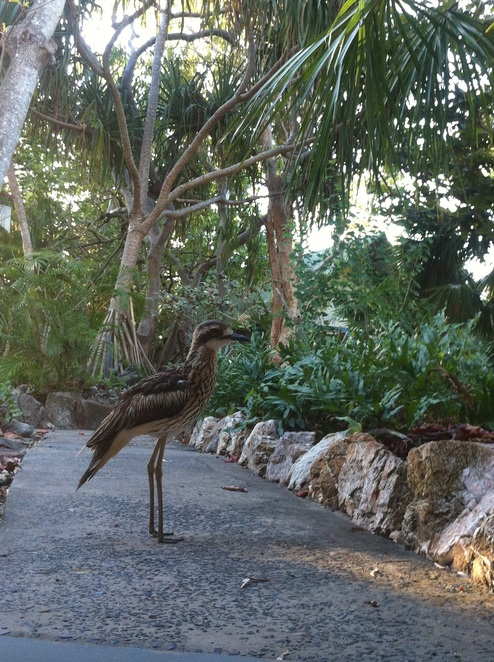 GKI Holiday village, stone curlew, GKI, Great Keppel island with kids, what to do on Great Keppel, day trips to QLD islands, Great Barrier reef