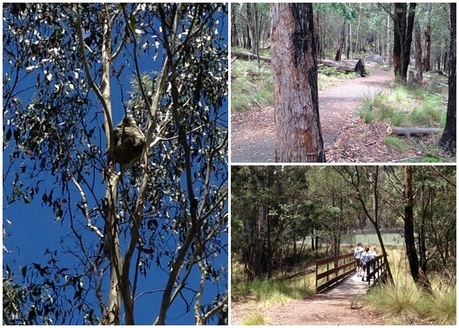 koala path, canberra, tidbinbilla nature reserve, koalas, native, wild, animals, bushwalks, short walks, walks, bushwalking,