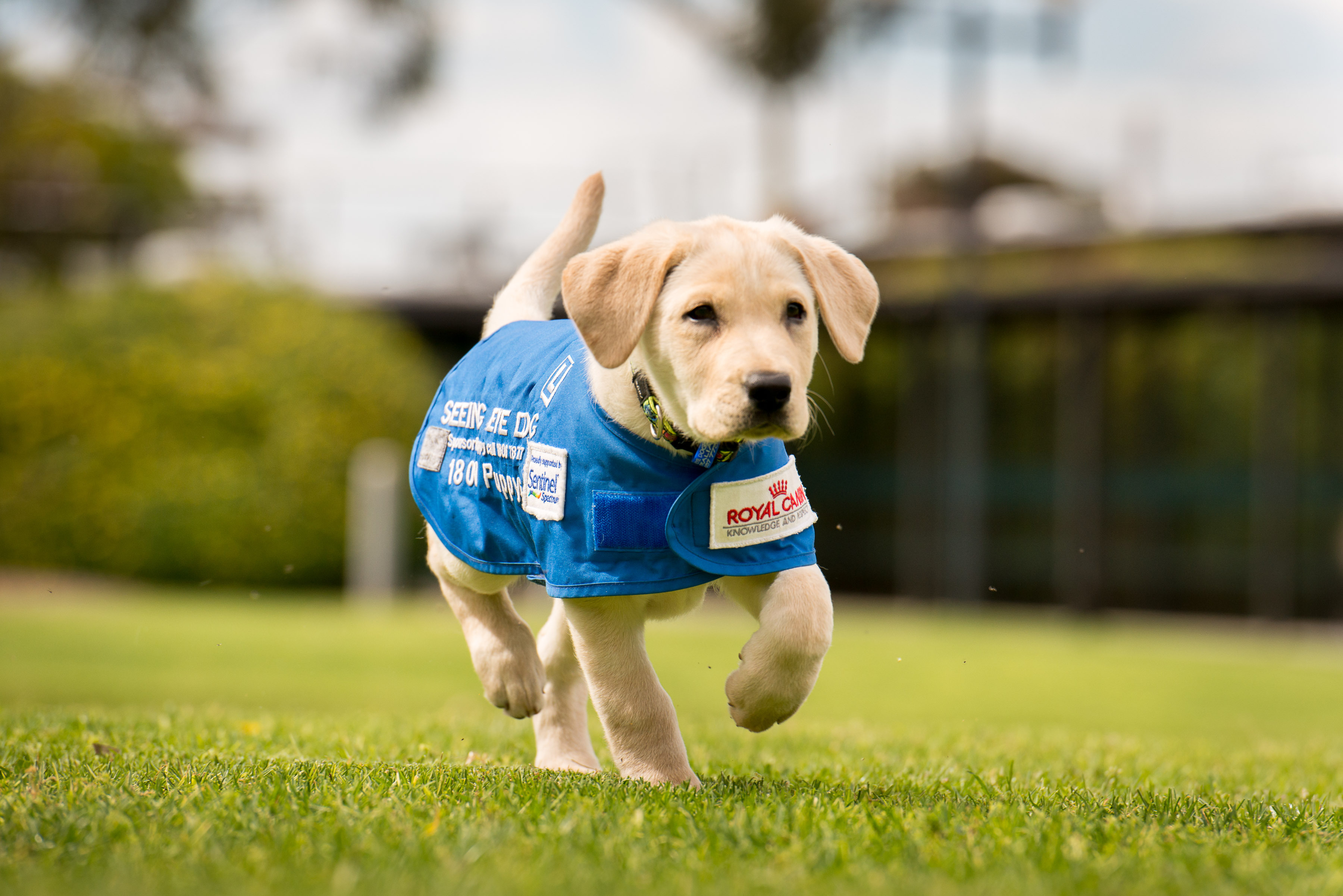 seeing eye dogs Welcome to the seeing eye gift shop every purchase supports our mission to enhance the independence,  through the use of specially trained seeing eye® dogs.