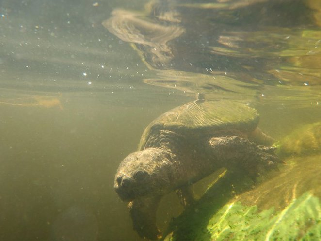snapping, turtle, algonquin, canoe, canada
