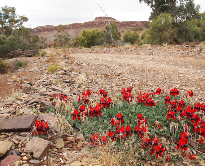 South Australian wildlife, South Australian tourism, Wildlife photography Wildlife stories, Arkaroola, outback, Sturt desert pea