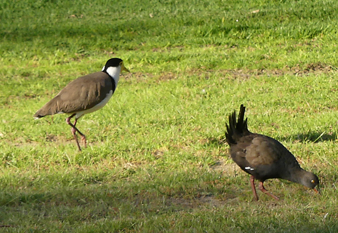 South Australian wildlife, South Australian tourism, Wildlife photography Wildlife stories, Australian birds, Thorndon Park, masked lapwing, black tailed native hen