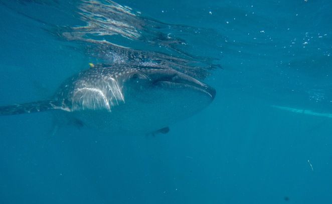 Whale sharks, swimming with whale sharks, whale sharks Oslob, Cebu, Philippines, Whale Shark, Cebu