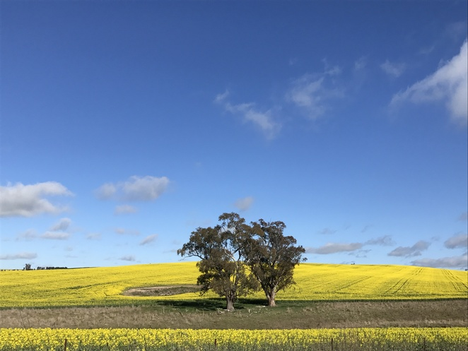 Canola, day trip, Canberra, country, road trip
