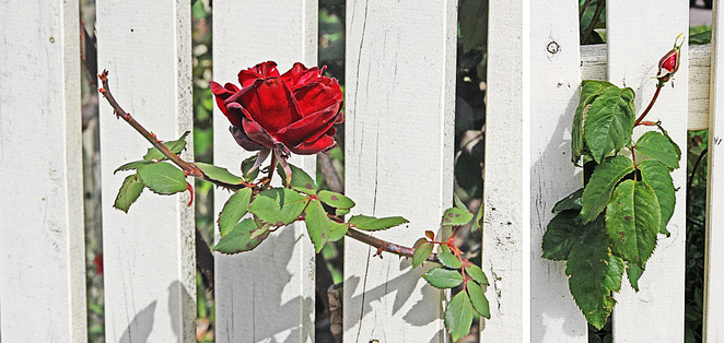 escaping rose.