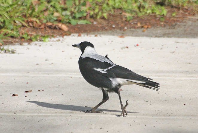 magpie walking