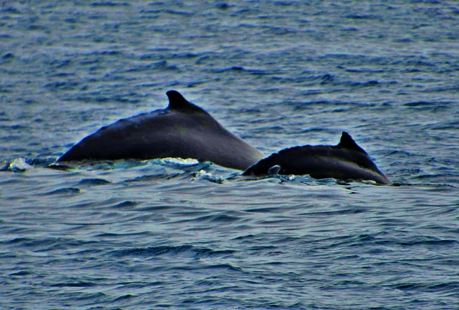 Whale watching,Wildlife Coast Cruises,Wilsons Promontory,Whale Cruise,Whale watching Victoria,Whale migration,See whales,Visitvictoria,Visitgippsland,Weekend getaways Victoria