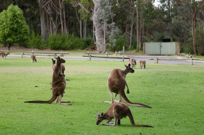 Yanchep National Park, joey, kangaroos