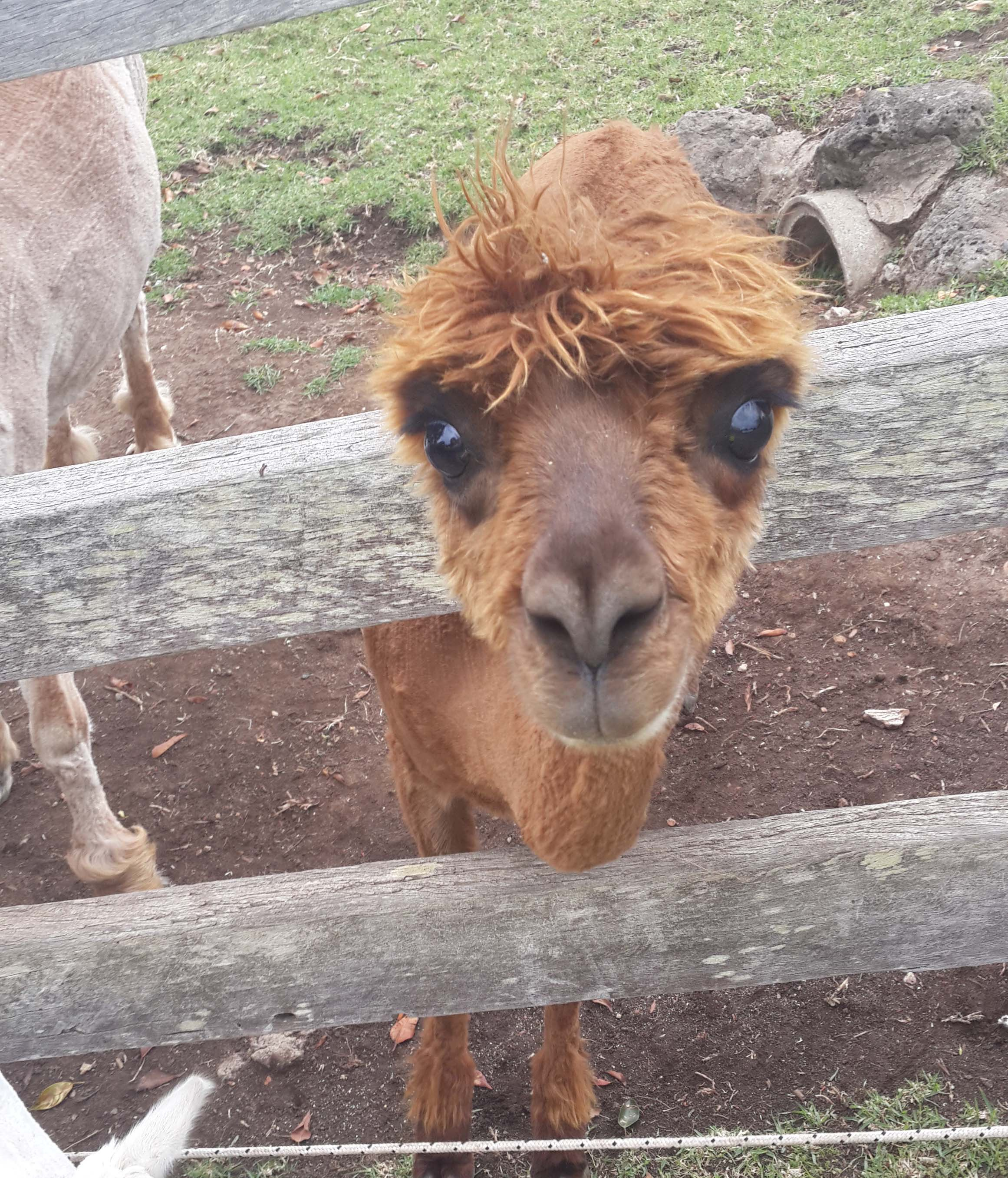 Mountview alpaca farm brisbane by amber flynn for Alpaca view farm cuisine