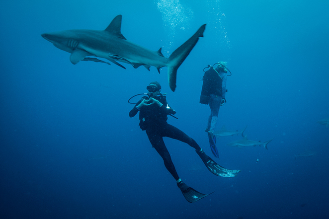 blue, diving, barrier reef, shark, tour, encounter