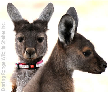 Image is from the Darling Ranges Wildlife Shelter website.