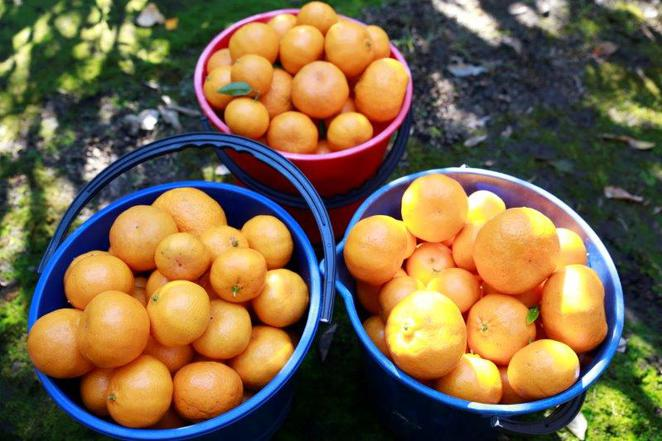 Mandarins, pick your own, Hawkesbury trail, wisemans ferry, fun with kids, pick your own mandarins, day out with kids, family day trips, Sydney local day trips, Sydney.