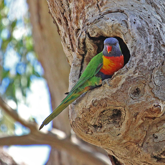 South Australian wildlife, South Australian tourism, Wildlife photography Wildlife stories, Sri Chinmoy, parrots, Adelaide city, rainbow lorikeet